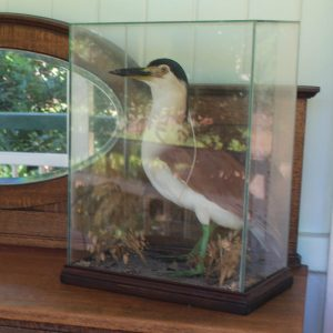 Taxidermy Bird in Glass Box