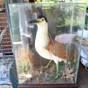 Victorian Bird Taxidermy